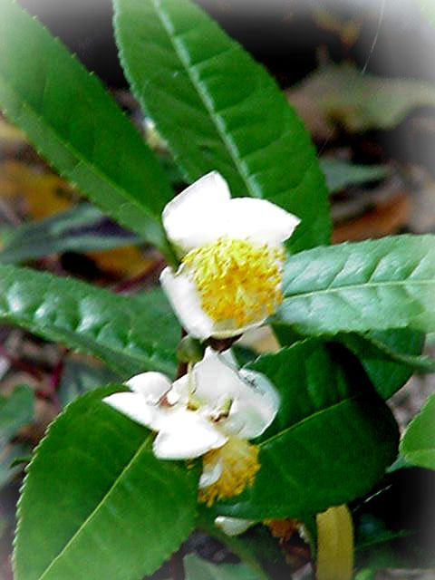 Details about LIVE GREEN TEA PLANT 'CAMELLIA SINENSIS' GROW YOUR OWN!